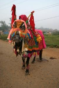 gypsy-cow